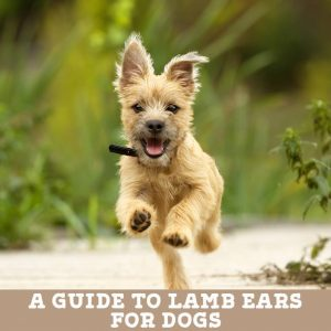lamb ears for dogs